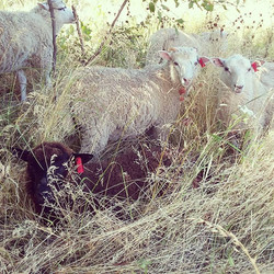 lambs tall grass