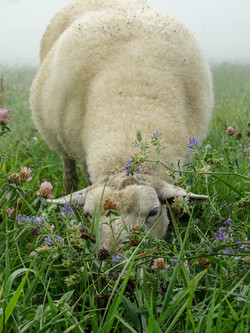 Humane organic lamb Ontario