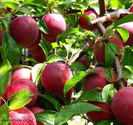 prunus-billington-fruit.jpg
