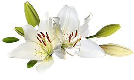 easter-lily-flower-stock-photography-cli