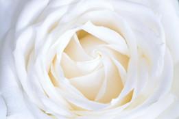Rose - Nordic White