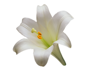100-1003637_lily-lilium-candidum-tiger-w