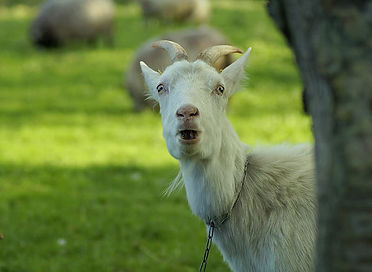 white-goat-on-green-grass-field-during-d