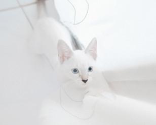 Cat - Nordic White