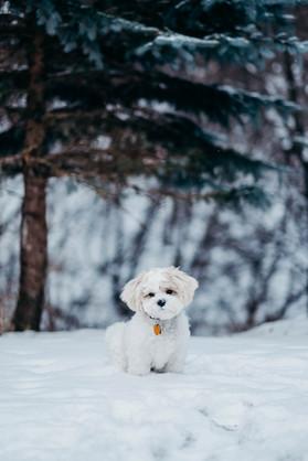 Puppy - Nordic White