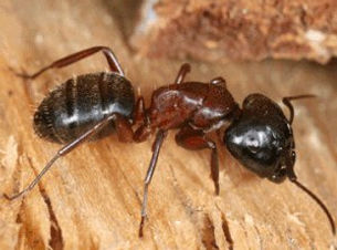 xcarpenter-ant_png_pagespeed_ic_8vbvNgxa
