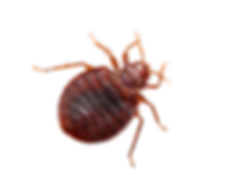 bed-bug-on-human-arm_clipped_rev_1.png