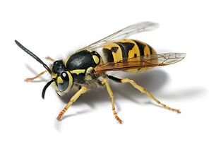 European_wasp_white_bg.jpg