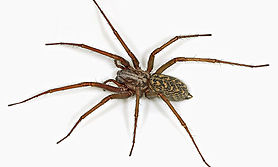 House-Spider-001.jpg