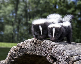 Young skunk pair.jpg