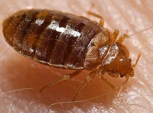 Bed_bug,_Cimex_lectularius.jpg