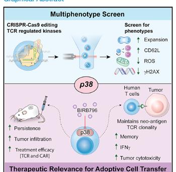 Uma proteína, múltiplos fenótipos: Potencial da modulação de p38 para a imunoterapia celular