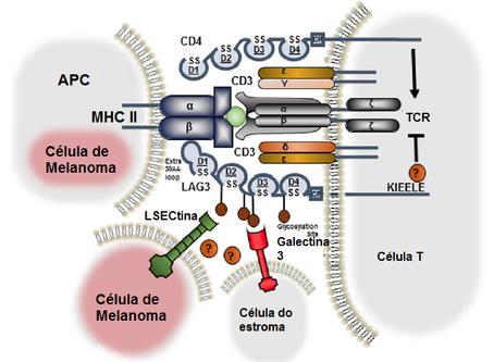 O que é essencial a alguns receptores inibitórios para que inibam a atividade das células T?