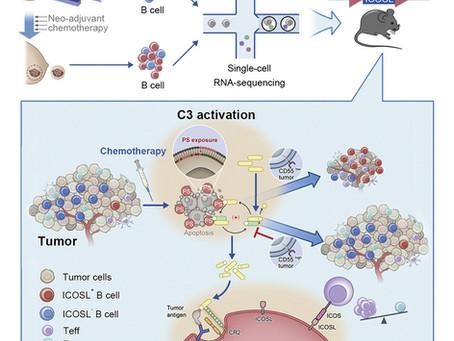 Subconjunto distinto de células B surge em tumores após a quimioterapia