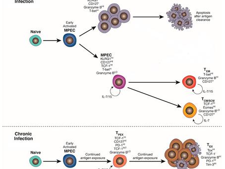 BACH2: Mais uma peça no quebra-cabeça epigenético da exaustão de linfócitos T
