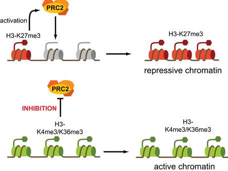 Como a epigenética influencia o fenótipo de células T