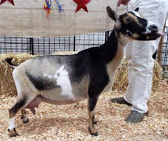 Spritz-Nigerian Dwarf goat grazing