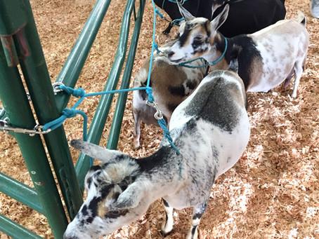 Goat Show Tie Line