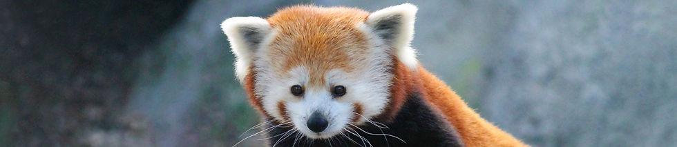 Syracuse-Zoo-FOTZ-RGZ-Red-Panda-Karyn-Kn