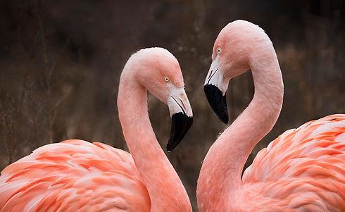 Syracuse-Zoo-FOTZ-RGZ-Chilean-Flamingos-