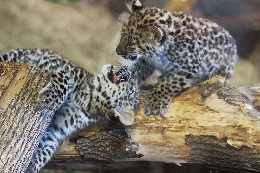 Syracuse Zoo RGZ Amur Leopard Cubs Milo and Meena
