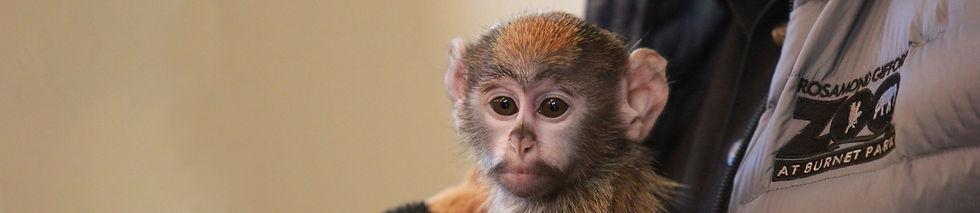 Syracuse-Zoo-FOTZ-RGZ-Patas-Monkey-Iniko