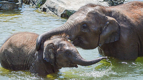 Syracuse-Zoo-RGZ-FOTZ-Asian-Elephants-Aj