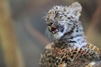 Syracuse-Zoo-FOTZ-RGZ-Amur-Leopard-Mina2