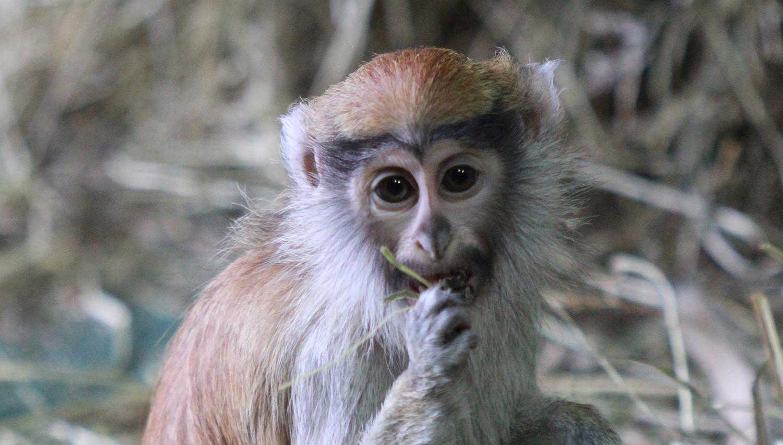 Patas Monkey Baby