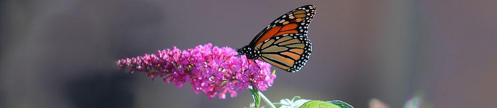 Syracuse-Zoo-RGZ-Monarch-Butterfly-Sprin
