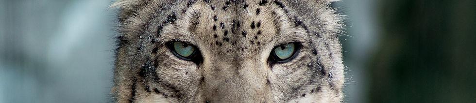 Syracuse-Zoo-FOTZ-RGZ-Snow-Leopard-Danie