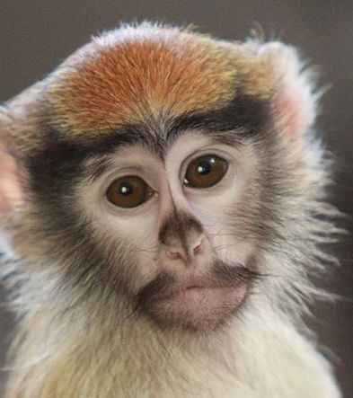 Syracuse-Zoo-RGZ-Baby-Patas-Monkey-Iniko