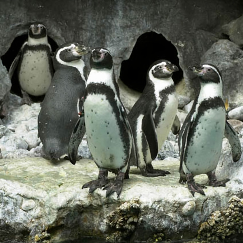Virtual Zoo to You: Playful Penguins
