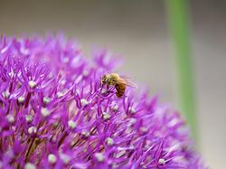 bba-pollens