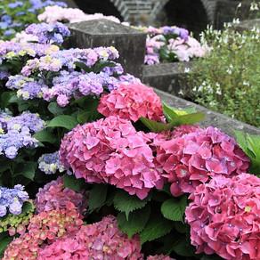 「九州の自然・風景・祭り」(ながさき紫陽花まつり)