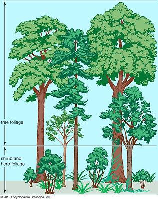 46_Vegetation-profile-forest_Brittanica_