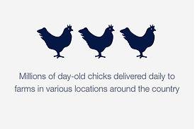 millions_of_chicks.jpg