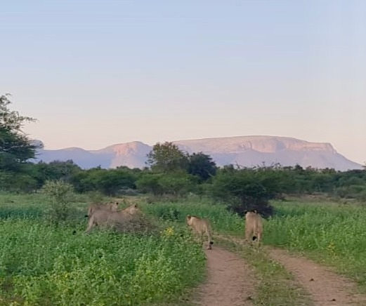 Marataba_lions_edited