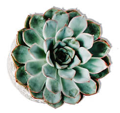 Cactus shaddow.png