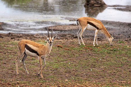 Thomson gazelle with horns grazing in the Serengeti National Park, Tanzania, Shots and Tales