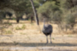 Female Ostrich in the woodland | Tarangire National Park | Tanzania | Shots and Tales