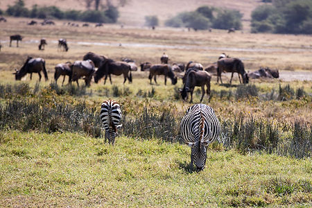 Zebras and wildebeest grazing at Ngorongoro Crater | Tanzania | Shots and Tales