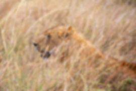 Lion in the grass | Serengeti | Tanzania Safari | Shots and Tales