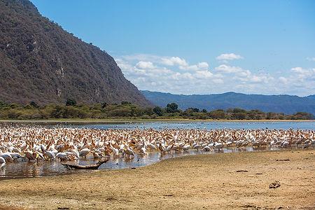 Many pelicans at Lake Manyara, Tanzania, Shots and Tales