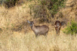 Waterbuck antelope | Tarangire | Tanzania | Shots and Tales