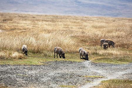 Wild boar eating grass at Ngorongoro Crater | Tanzania | Shots and Tales