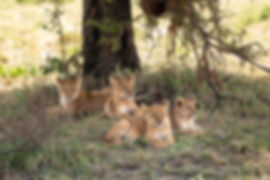 Lion cubs under a tree in the Serengeti | Tanzania Safari | Shots and Tales