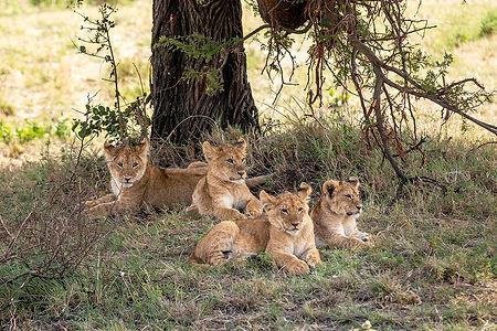 Lion cubs under a tree in the Serengeti | Tanzania Safari | Shots and Tales