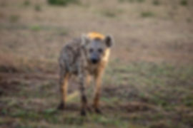 Spotted Hyena in the Serengeti, during a Safari in Tanzania | Shots and Tales