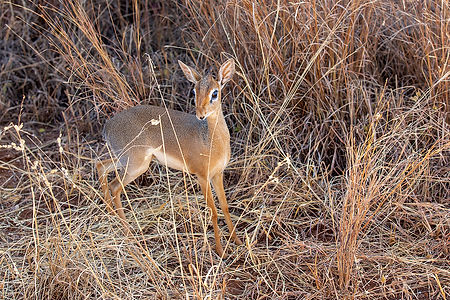 Dik Dik Antelope | Tarangire | Tanzania | Shots and Tales